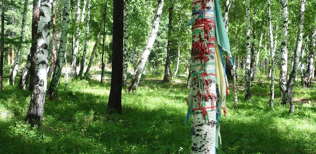 Береза мать-дерево в лесу, Аршан, Бурятия